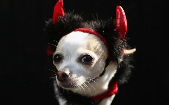 маленькая собака в костюме