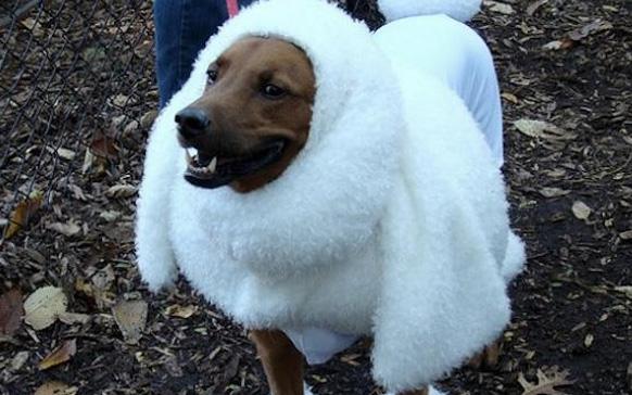 собака в белом костюме
