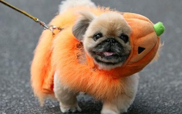 собака в костюме тыквы
