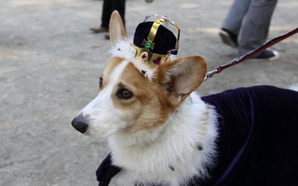 собака с короной на голове