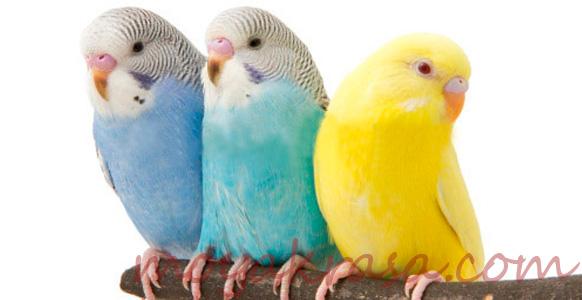 разноцветные волнистые попугаи